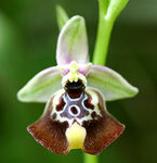 Title: Ophrys oxyrrnchos