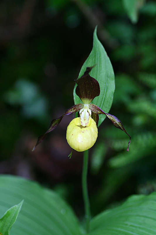 Lady`s slipper orchid