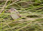 Title: Resting Baby Sparrow