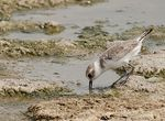 Title: Greater Sand Plover