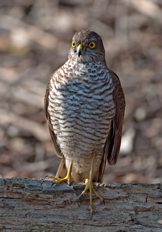 Accipiter nisus - female