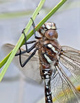 Title: Aeshna juncea - immature male