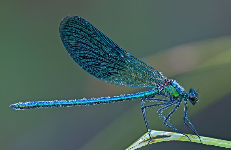 Calopteryx splendens - male