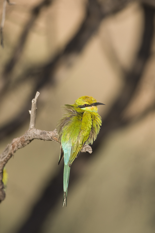 The Swallow-tailed Bee-eater
