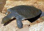 Title: African Softshell Turtle