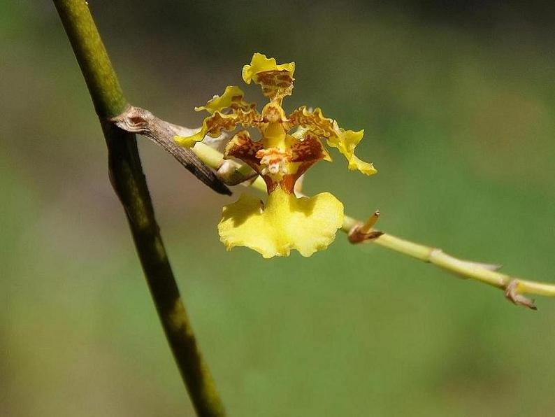 Oncidium polycladium