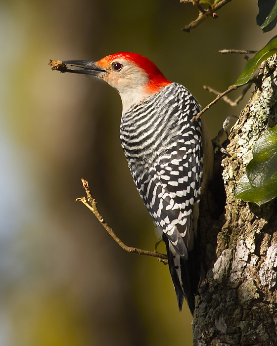Red-bellied