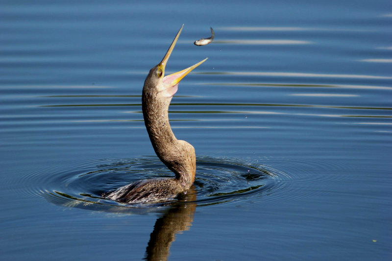 Female Anhinga Fishing