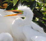 Title: Great Egret Chick