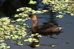 Title: Pied-billed Grebe
