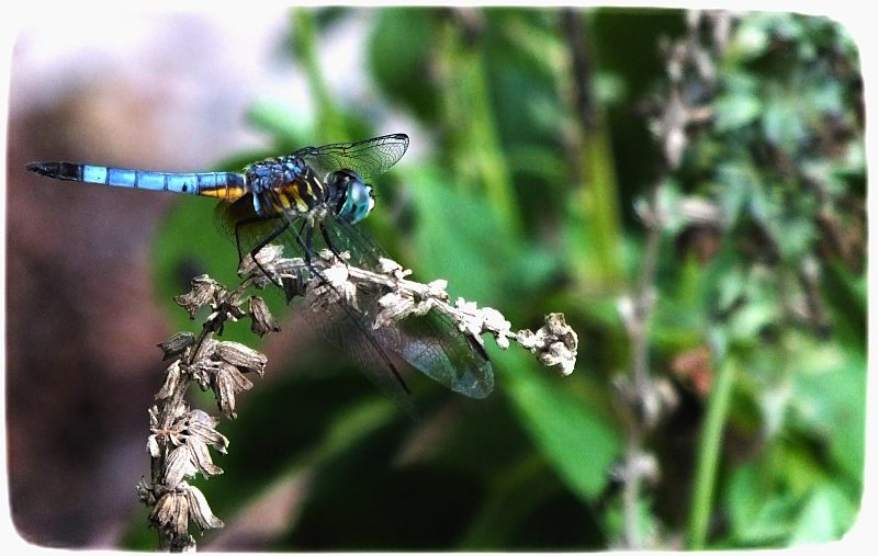 male blue eyed darner