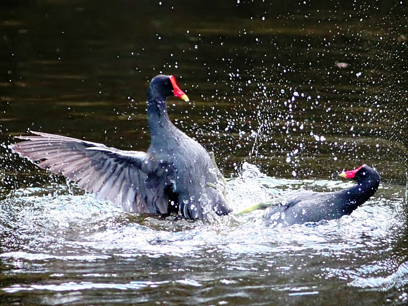 Common Moorhen Slam Dunk