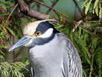 Title: Yellow Crowned Night Heron