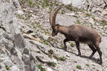 Title: The Ibex
