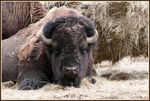 Title: The American Bison