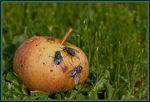 Title: Apple and Flies
