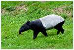 Title: the Tapir