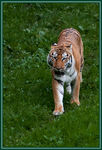 Title: The Sumatran Tiger