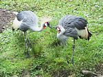 Title: Grey Crowned Crane