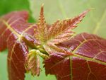 Title: Young Maple