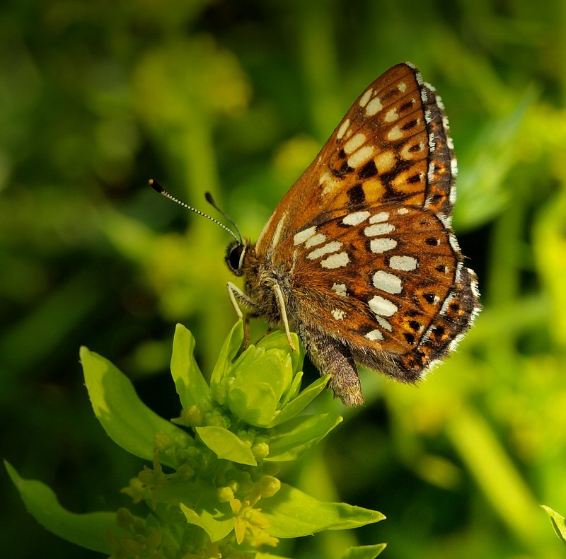 Hamearis Lucina Duke of Burgundy