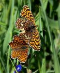 Title: Melitaea phoebe couple