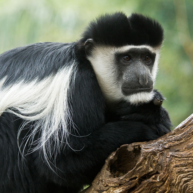 Colobus resting and thinking