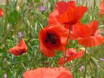 Title: Italian Poppies