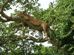 Title: Tree-climbing lion
