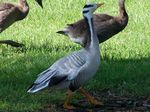 Title: Bar Headed Goose