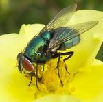 Title: Green Bottle Fly on yellow flower.
