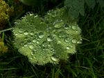 Title: Morningdew on Lady's Mantle.