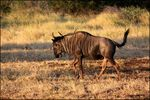 Title: Wildebeest at sunsetCanon EOS 500D