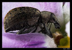 Title: Nut weevil Camera: Canon 20D