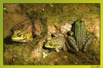 Title: Frogs Family