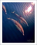 Title: Common Dolphins