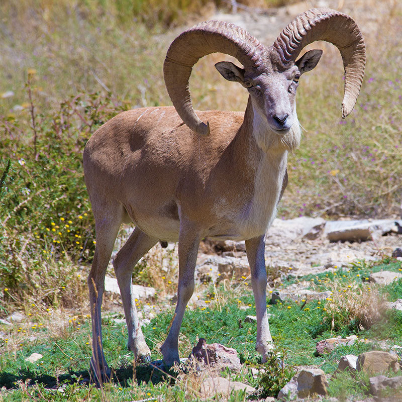 The urial
