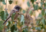 Title: young male stonechat