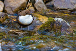 Title: Eurasian White-fronted Dipper