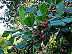 Title: American holly (Ilex opaca)