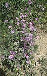 Title: Malva major (Malva sylvestris)