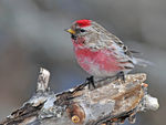Title: Common Redpoll male spring 2011
