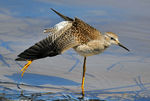 Title: Lesser Yellowlegs yoga