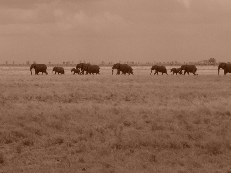 Tsavo Elephants