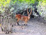 Title: Chital in Sundarban'sCanon Powershot SX 20 IS