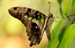 Title: graphium agamemnon - tailed jayPentax K-x