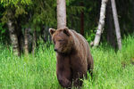 Title: brown bear