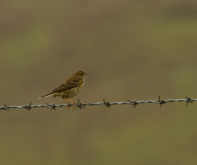 meadow pipit (I)