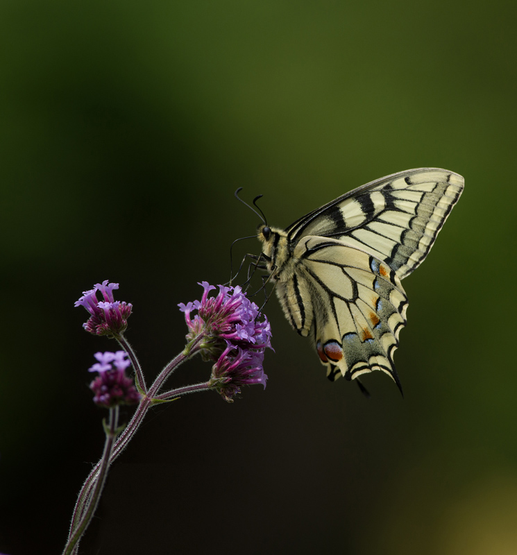 Papilio Machaon / Swallowtail