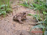 Title: American Toad